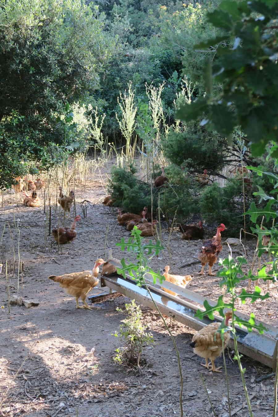Elevage de poulets en plein air