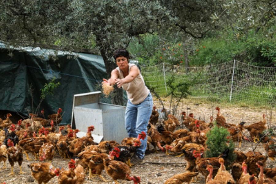 Elevage de poulet dans le Var