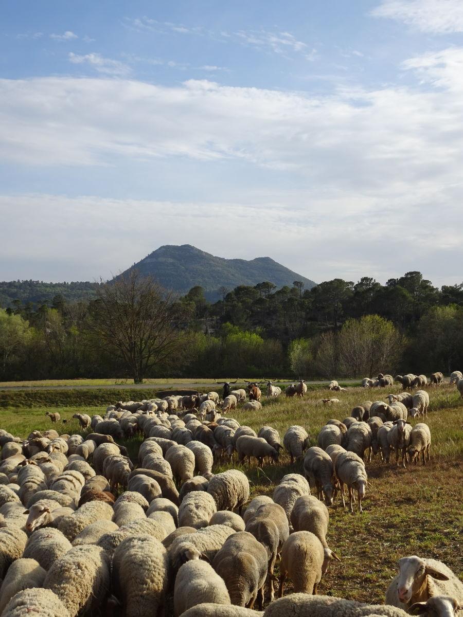Elevage des agneaux