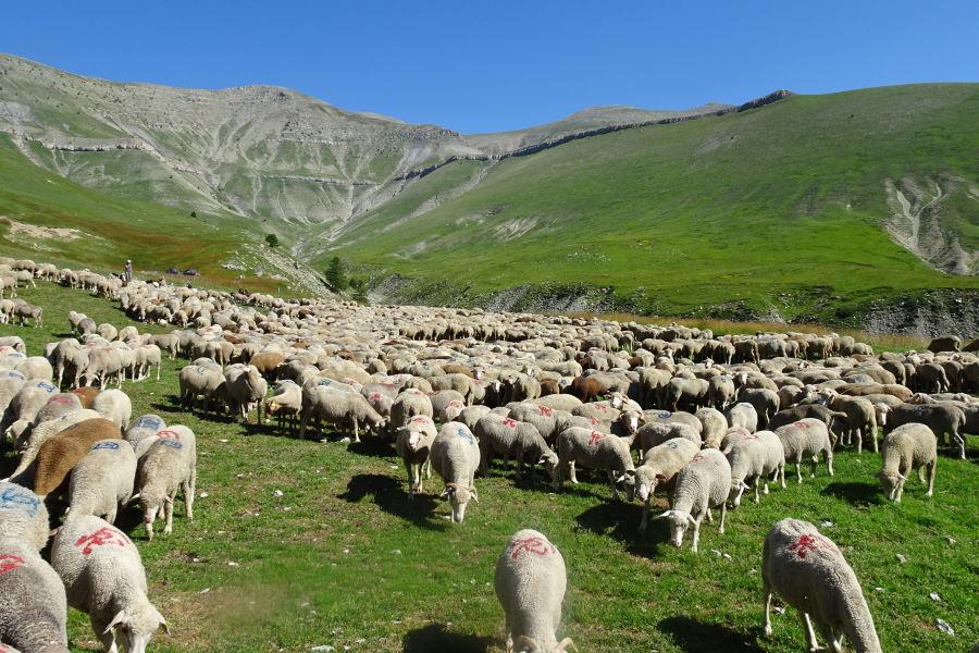Agneau dans les Alpes du Sud