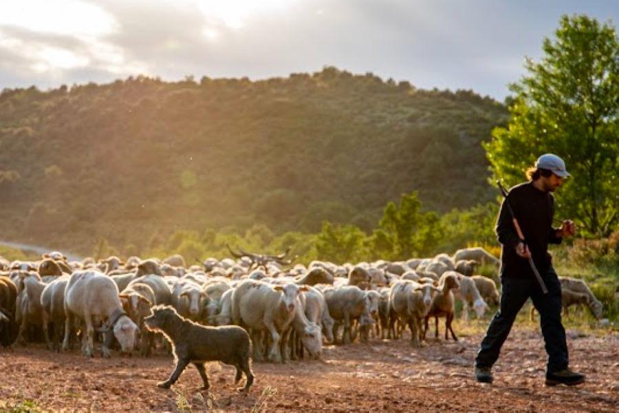 Troupeau d'agneaux